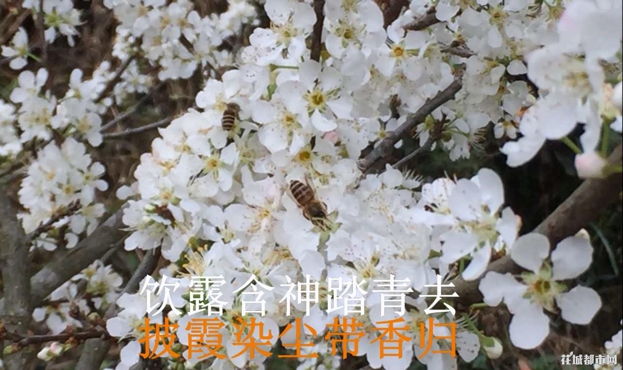 惠州三月李,李子,可快递,可自主采摘