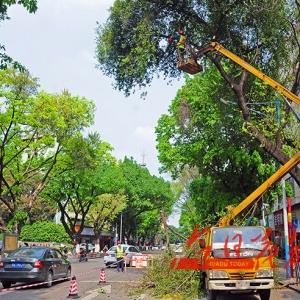 城区28条道路行道树实施排危作业修剪路树护安全
